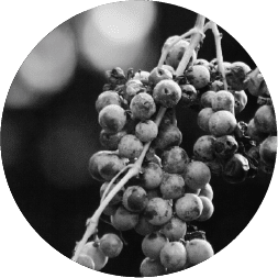 Washington grapes from Conner Lee vineyward in black and white
