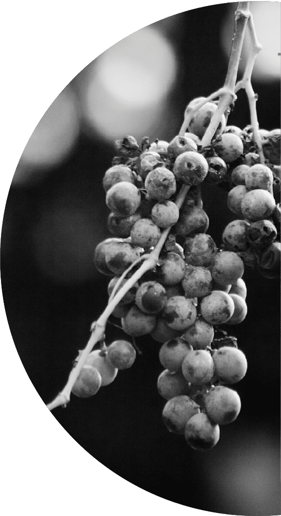black and white washington grapes from Conner Lee vineyard